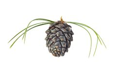 Cedar cone Royalty Free Stock Images