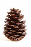 Cedar cone. Isolated on a white background Stock Image
