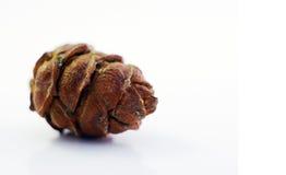 Cedar Cone Imagem de Stock