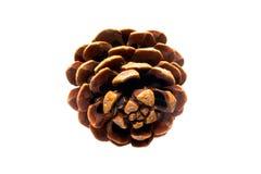 Cedar cone Royalty Free Stock Image