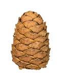 Cedar Cone Arkivbilder
