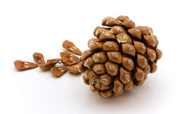 The cedar cone. Ripened cone of a cedar Himalaya with seeds Royalty Free Stock Images