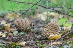 Cedar Cone immagini stock libere da diritti