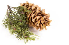 The cedar cone with a branch Stock Image