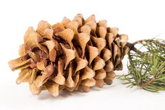 The cedar cone with a branch Stock Photography