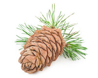 Cedar cone with branch Royalty Free Stock Photo