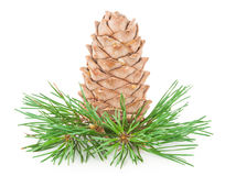 Cedar cone with branch Royalty Free Stock Photography