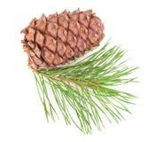Cedar cone with branch Stock Image