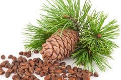 Cedar cone with branch Stock Photo