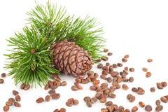 Cedar cone with branch Royalty Free Stock Photos