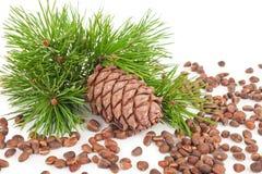 Cedar cone with branch Stock Photos