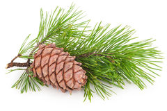 Cedar cone with branch. On white background royalty free stock photo