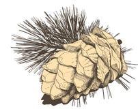 Cedar cone, engraving style Stock Image