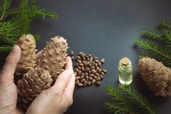 Cedar cone in female hand, branches and cedar oil on black background. Royalty Free Stock Image