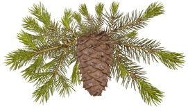 Cedar cone on the fir tree isolated Royalty Free Stock Image