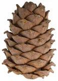 A cedar cone. Cone forest cedar closeup on white background Stock Image