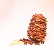 Cedar cone grains Stock Image