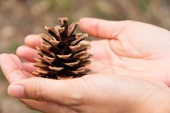 Cedar cone Stock Photos