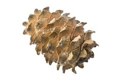 Cedar Cone Isolated no fundo branco closed fotografia de stock