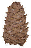 Cedar cone isolated Stock Images