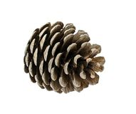 Cedar Cone Isolated on White Background Stock Image