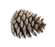 Cedar Cone Isolated on White Background Royalty Free Stock Images