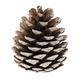 Cedar Cone Isolated on White Background Stock Photos