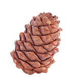 Cedar cone Royalty Free Stock Photography