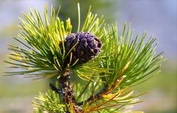 Cedar cone (Pinus sibirica) Royalty Free Stock Photography