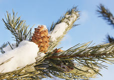 Cedar cone on snow covered branch Stock Photography