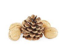 Cedar cone with walnuts Royalty Free Stock Image