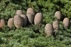 Cedar Cones Royalty Free Stock Images