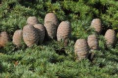 Cedar Cones royalty free stock images