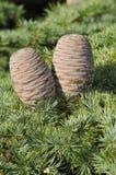 Cedar Cones Royalty Free Stock Photos