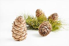 Cedar cones. Still life with cedar cones on white background Royalty Free Stock Photos