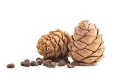 Cedar cones Stock Image