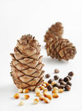 Cedar Cones And Nuts Stock Images