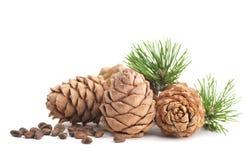 Cedar cones with branch Stock Photography