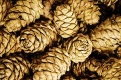 Cedar cones close up, background royalty free stock image