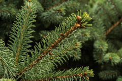 Cedar cones and needles. Natural background Stock Photography