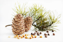Cedar cones and nuts. On light background Stock Image