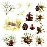 Cedar cones with nuts and green pine needles pine tree branches nature watercolor isolated objects on white background. Cedar cones with nuts and green pine Royalty Free Stock Image