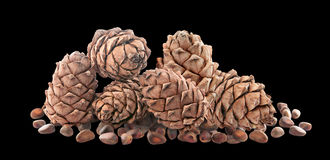 Cedar cones with nuts. Isolated. Stock Photography