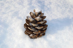 Cedar cones stock photography