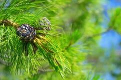 Cedar cones Royalty Free Stock Photo