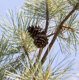 Cedar cones on the tree. In the park in nature royalty free stock photography