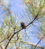 Cedar cones on the tree. In the park in nature stock image