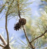 Cedar cones on the tree. In the park in nature royalty free stock images