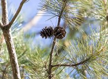 Cedar cones on the tree. In the park in nature royalty free stock image