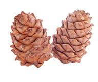 Cedar cones Stock Images